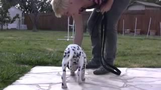 Dog Clicker Training Cesar Millan