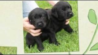 Labrador puppies for sale Brisbane QLD – Dog Training Code